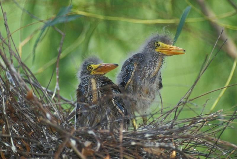 A pair of great blue heron fledglings display new feathers. Great blue heron fledglings begin to leave their nests this week in Missouri. At first these birds cannot fly back to their nest. Do not mistake these young birds for abandoned wildlife.