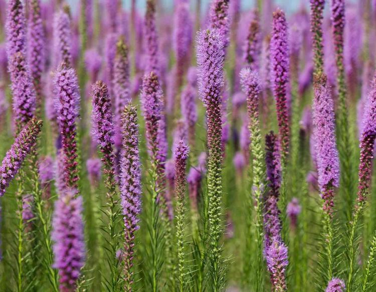 Dense stands of Prairie Blazing Star (Liatris pychnostachya) are blooming in Missouri this week.  These purple perennial wildflowers serve an important ecological role in the complex community of Missouri's tallgrass prairies.