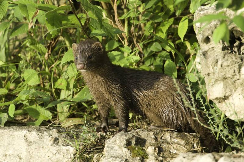 Watch for American mink mothers with their kits near permanent bodies of water this week. Minks are chiefly nocturnal and aren't social except when young are being raised, which makes this a great time of year to see them in the wild.