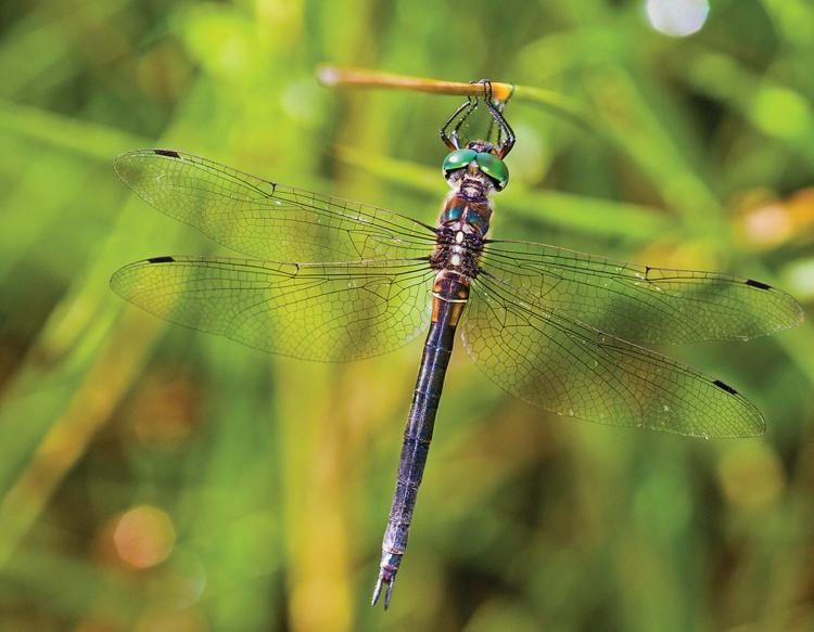 Dragonflies like this endangered Hine's Emerald Dragonfly lay eggs on the surface of water this week in Missouri.