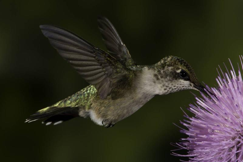 A ruby throated hummingbird hovers above a wildflower as it uses its tongue and beak to extract nectar. Hummingbirds can consume in midflight. Watch for peak numbers of these pollinator birds to arrive in Missouri this month as they begin migrating south.