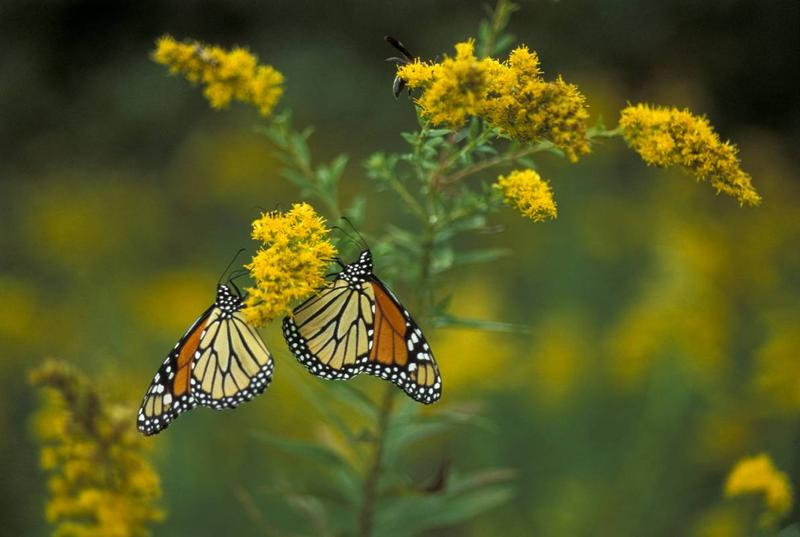 Two monarch butterflies sit atop a stand of blooming goldenrod. Monarchs are beginning their migration south for the winter. Watch for these butterflies adding to the color of late summer and fall wildflowers in Missouri.