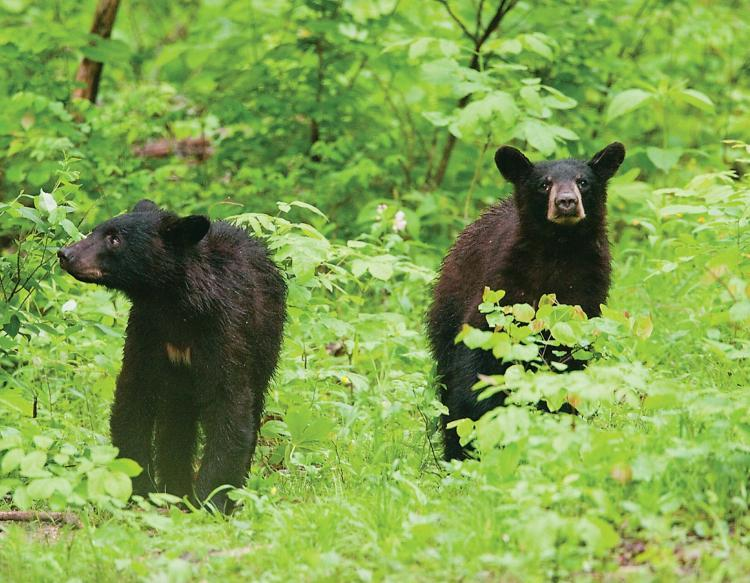 This week in Missouri's woods, black bears begin to feed heavily in preparation for winter.