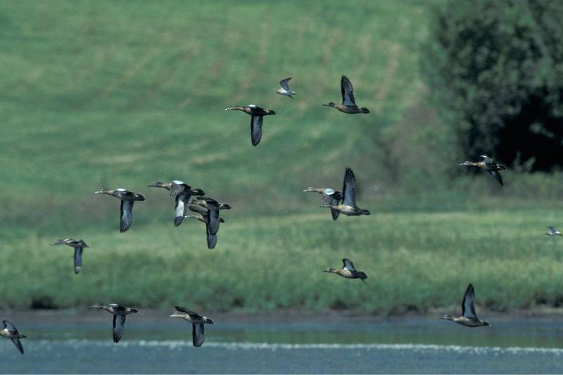 A flock of blue-winged teal fly over standing water with green grass and trees growing on land in the background.