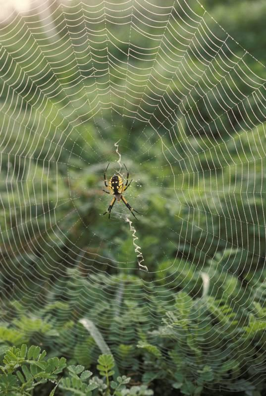 black and yellow garden spiders are harmless to humans and provide excellent opportunities for children and - Garden Spider