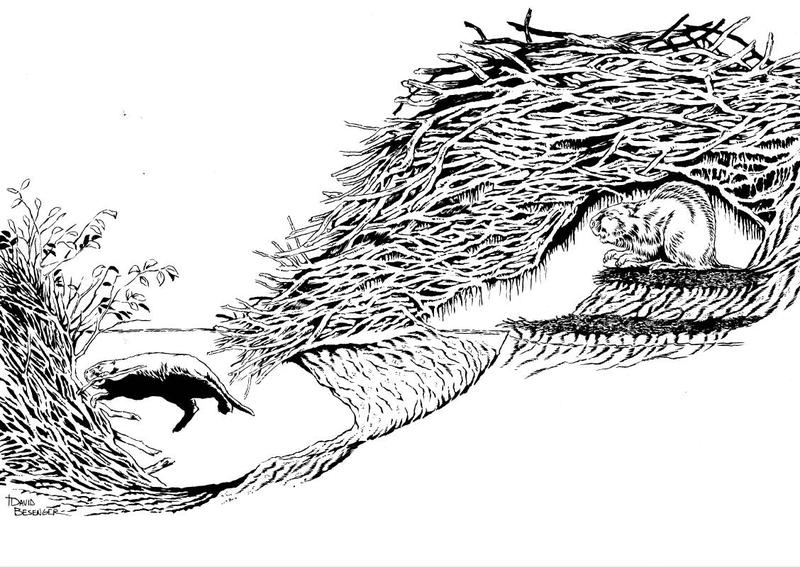 A pencil cut-away drawing shows a beaver in its streambank den built of tree branches with a tunnel leading to an underwater cache of food for winter.