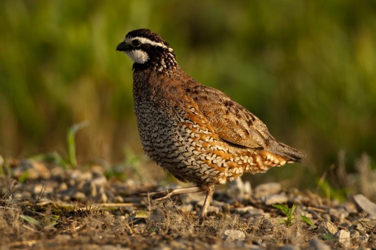 In the half-hour before dawn, listen for the clear, loud song of Missouri's native quail species, the Northern bobwhite, and watch for their excited eruptions from their nests on the ground on fall nature hikes.
