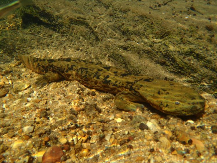 Ozark Hellbenders (Cryptobranchus alleganiensis bishopi) swim in search of food. These harmless aquatic salamanders are breeding in some Missouri stream bottoms this week. Hellbenders are a key indicator of overall health of a stream..