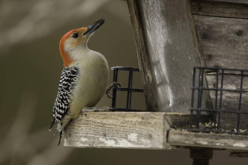 A red-bellied woodpecker (with a red head and white belly) cracks open a seed while perched on a wooden birdfeeder.