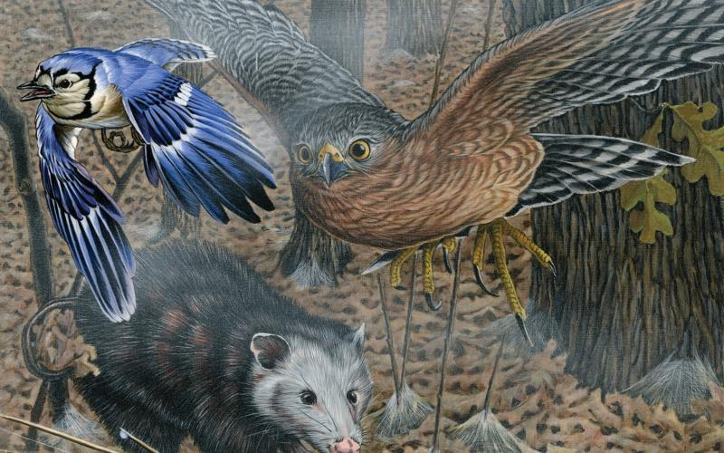 A drawing of a blue jay, and broad-shouldered hawk fly over an opossum in a Missouri woodland with fallen leaves on the ground.