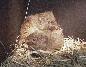 Two prairie voles keep each other warm by cuddling in their nest.