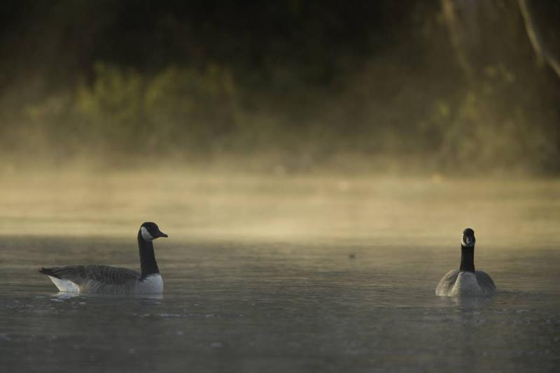 A pair of Canada geese sit on the water at sunrise as fog rises behind them.
