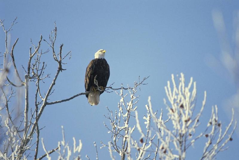 An adult bald eagle with white head and black body sits on a snow-covered tree branch against a blue-sky backdrop.