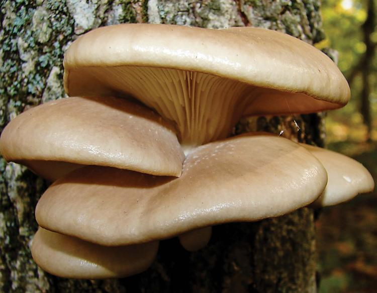 A cluster of tan-colored oyster mushrooms grows like shelves on the side of a tree trunk.