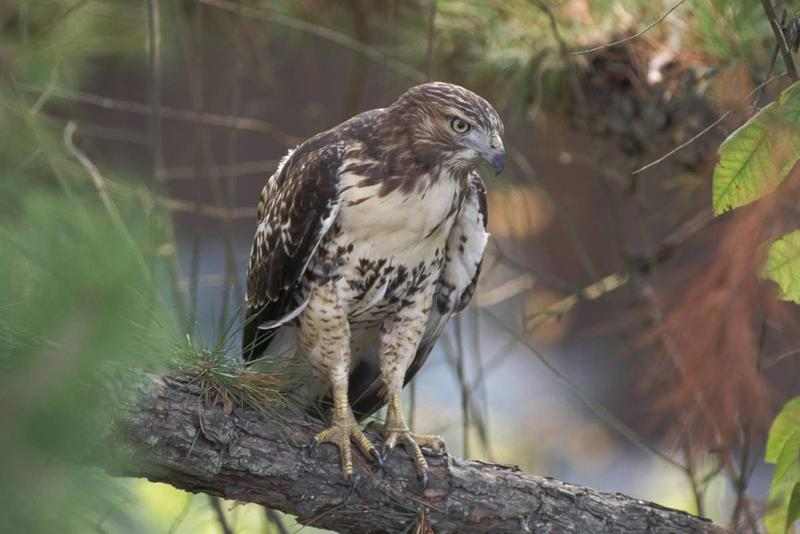 Watch for red tailed hawks perched on roadsides and field edges as they hunt for snakes, squirrels, mice, and other small animals.