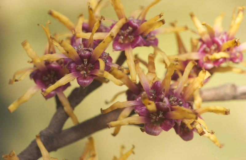 A cluster of yellow-red flowers emerge from a twig of an Ozark witch-hazel shrub.