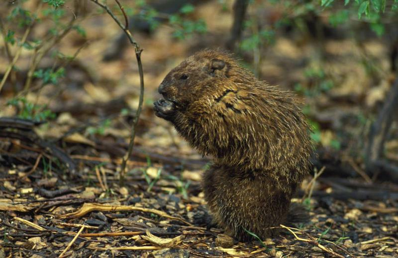 Groundhogs begin to emerge from winter hibernation in early February. Watch for their above-ground activity during daylight hours as they begin to breed, now through March.