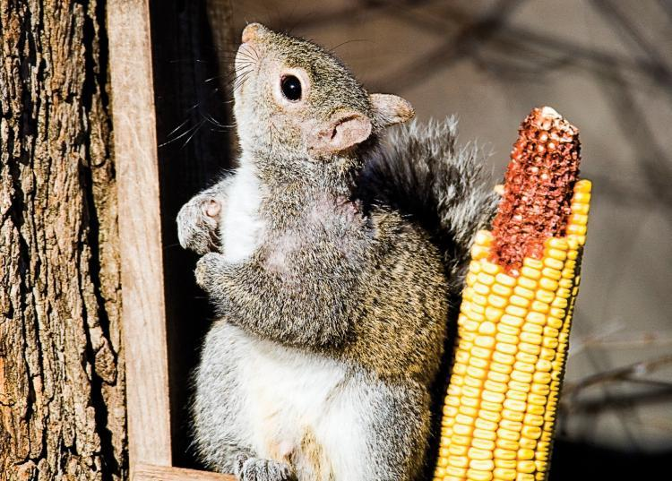 A gray squirrel sits on a corn-cob feeder attached to the trunk of a tree, looking upward.