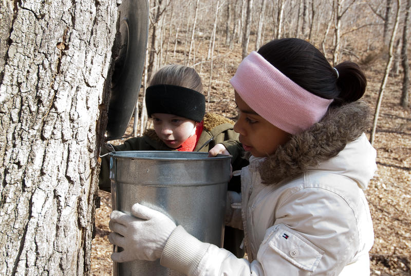 Two young girls place a metal bucket under a spile, or tap that drains sap from a maple tree to be turned into maple syrup.