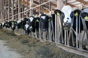 Cows at Terry Van Maanen's farm in Sioux County, Iowa, wait to be milked.