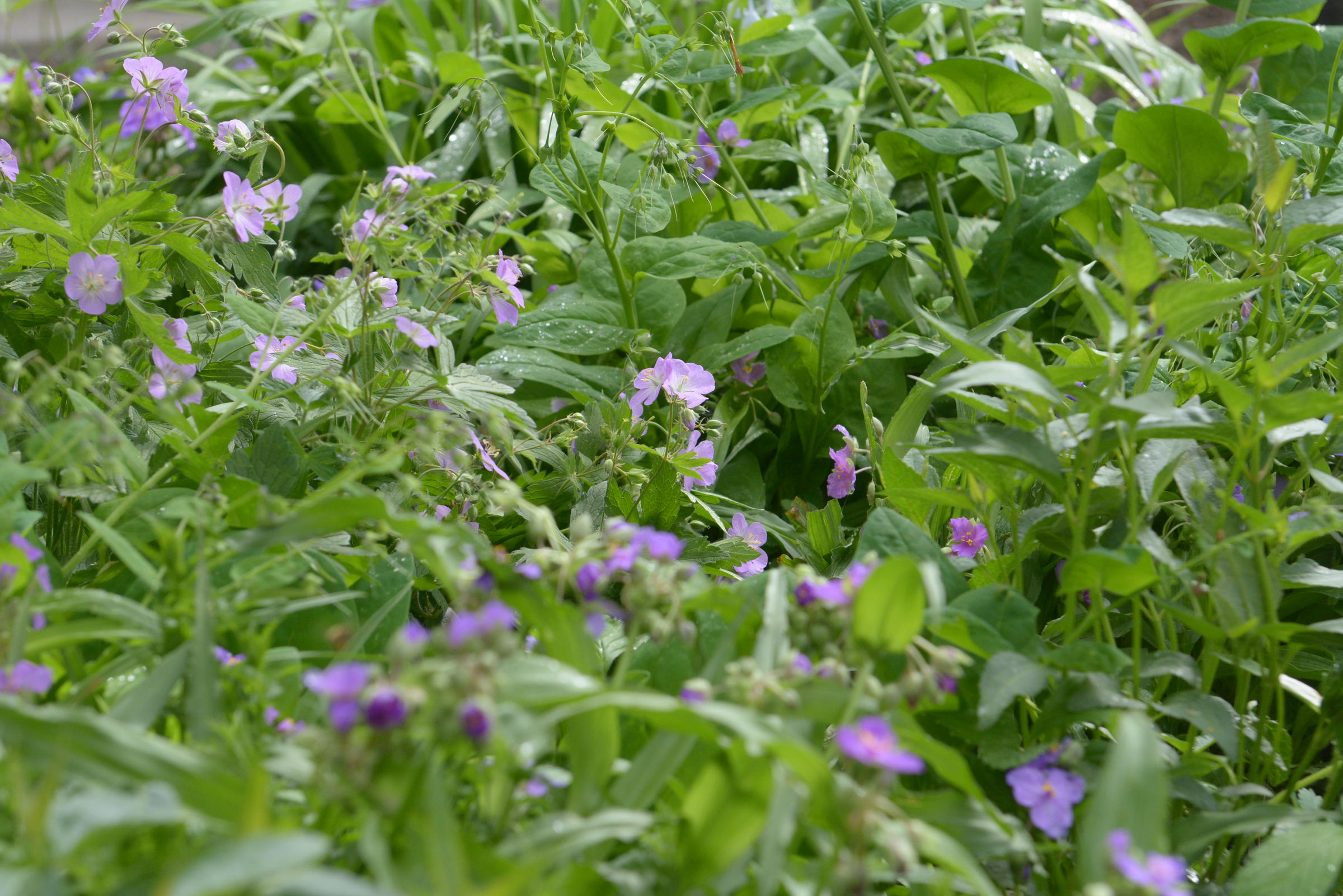 A Patch Of Wild Geranium And Woodland Spiderwort Blooms At The Missouri Wildflowers Nursery In Brazito