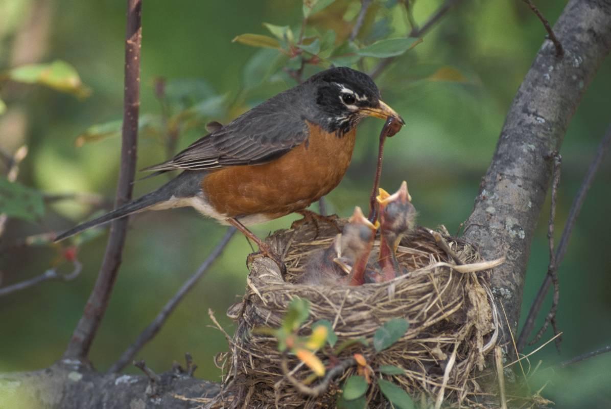 Discover Nature: Bird Nesting Peaks   KBIA Bird Nest With Bird