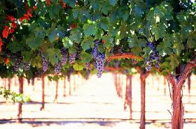 Grapes growing in the Paso Robles area.