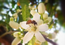 A honey bee lands on an orange blossom in San Luis Obispo County.