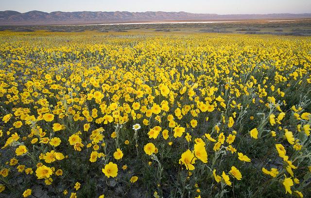 Flowers on the Carrizo Plain.