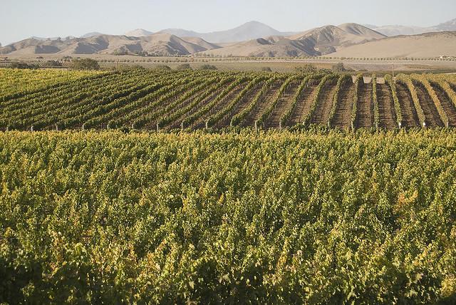 A vineyard in the Santa Ynez Valley, Santa Barbara County