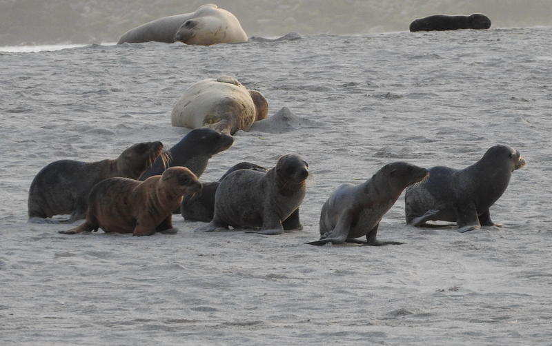 California sea lion pups are showing up on Central Coast beaches malnurished and emaciated because their mother's can't find enough food in the warmer waters.