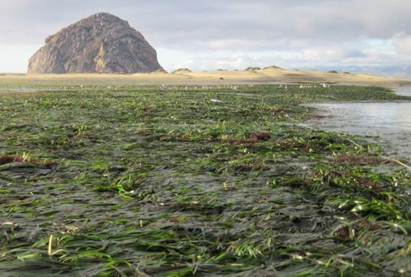 Governor Brown Signs Bill To Help With Eelgrass
