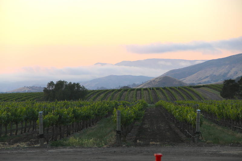 Evening Coastal Fog creaps in with its moderating effects on the grapes