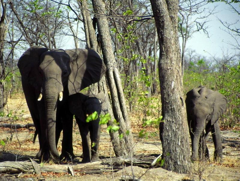 curious elephants in Botswana