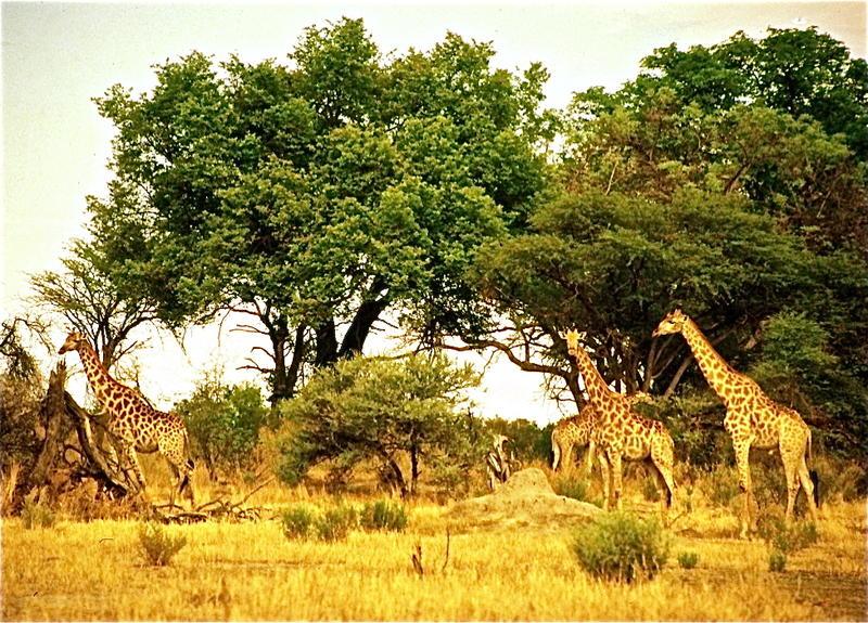 Botswanan Giraffe