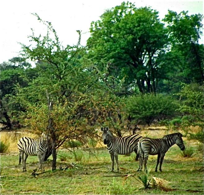 Botswanan zebras