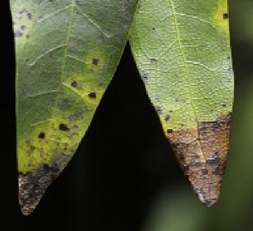 Infected California Bay Laurel trees  have brown, black, or gray leaf tips and/or blotches.