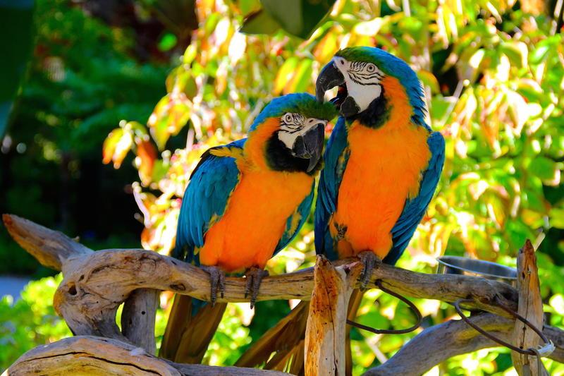 Exotic birds in Wine & Roses garden