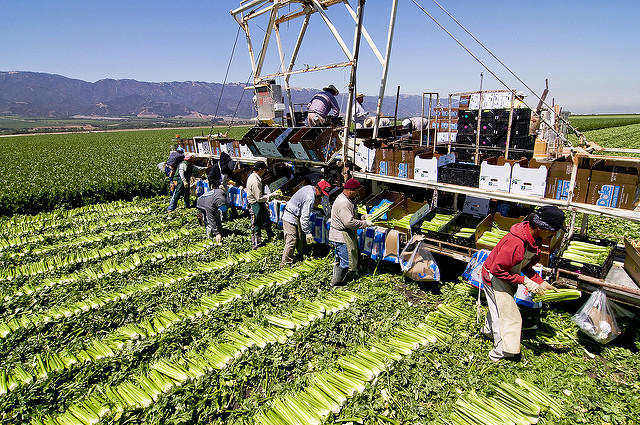 Farmworkers picking celery in the Salinas Valley.