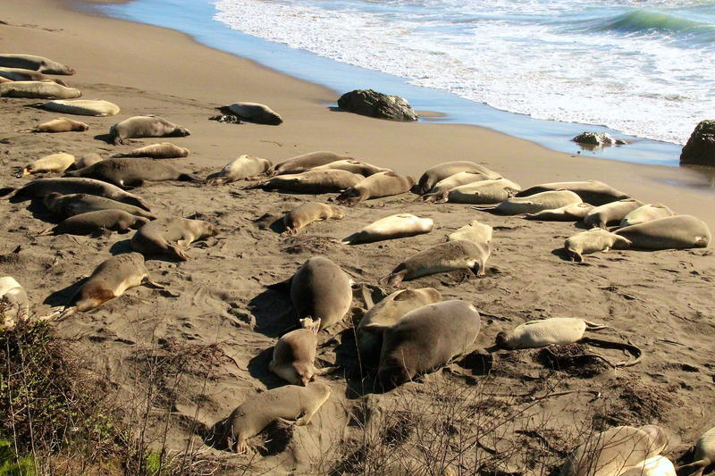 Elephant seals arrive for mating season at San Simeon CA