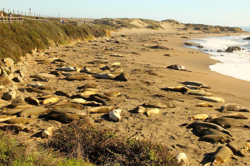 Elephant seals arrive for mating season San Simeon CA