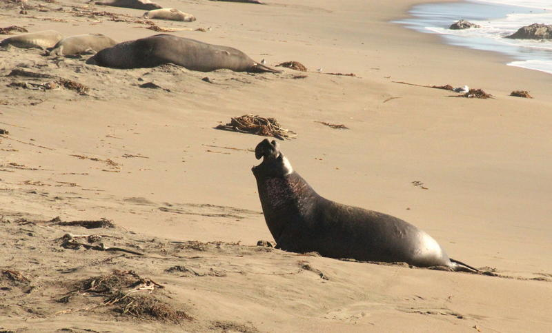 Bull elephant seal calls for mate