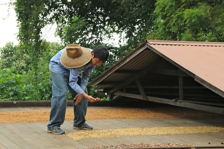 Ryan Nakata drying Kona coffee beans at the Kona Historical Society's Uchida Coffee Farm