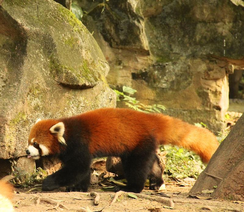 Red Panda at Giant Panda Research Base