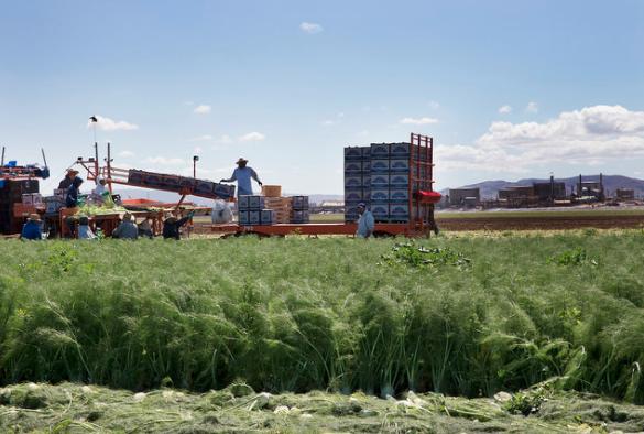 Farmworkers harvesting fennel near Santa Maria, CA.