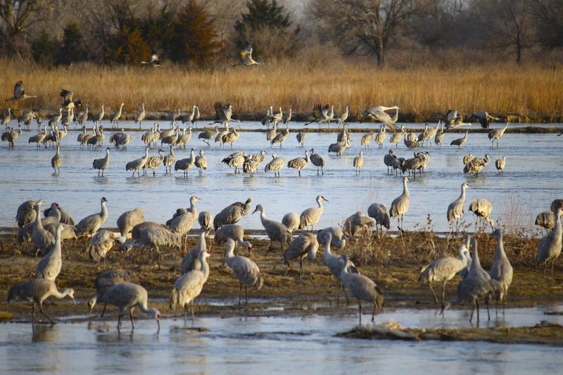 migrating Sandhill Cranes passing through Kearney, Nebraska prepare to take off for a day of foraging