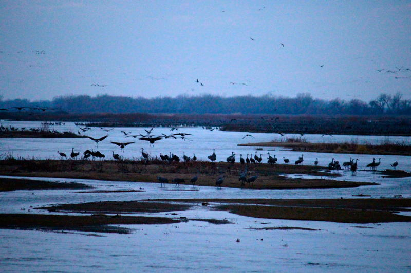 Kearney, Nebraska migrating Sandhill Cranes prepare to take off for a day of foraging