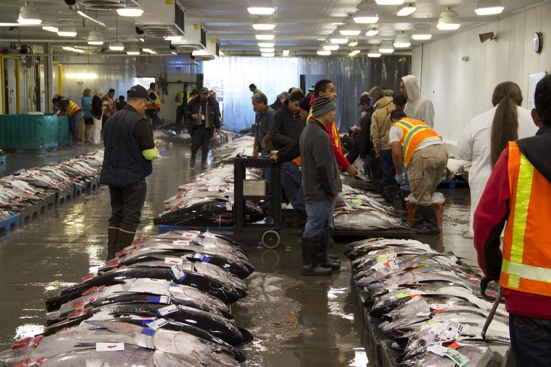 Wholesale buyers inspect and bid on fresh tuna at Honolulu's Pier 38