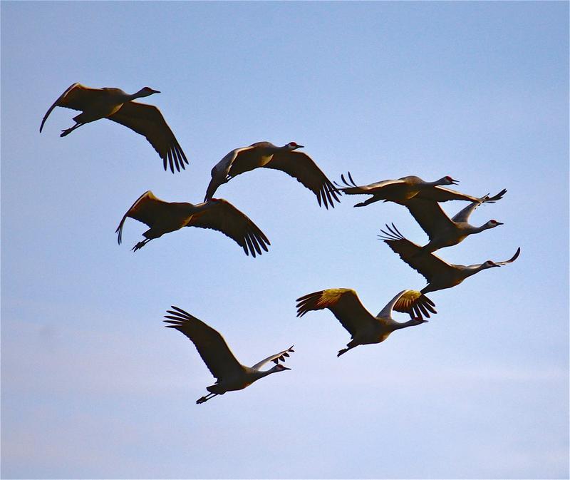 Sandhill Cranes flying over Nebraska en route to Canada for the summer