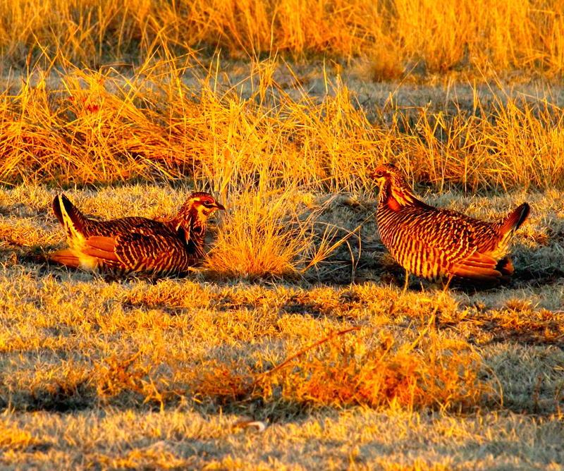 Greater Prairie Chickens doing their dance in the fields surrounding McCook, Nebraska